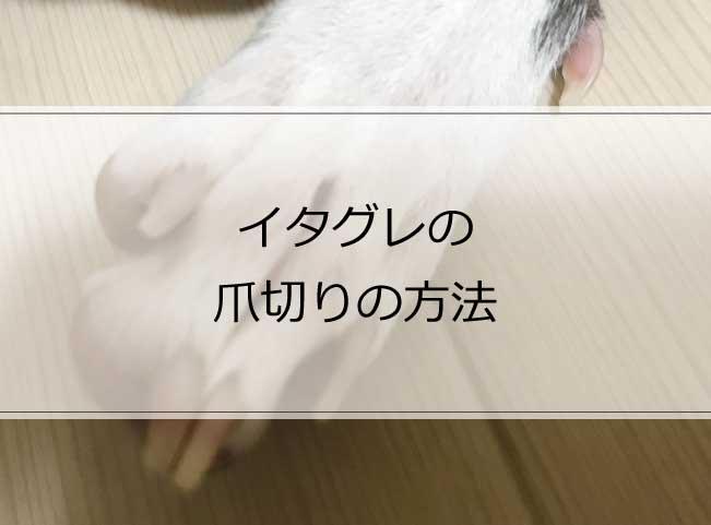 出血注意!イタグレの正しい爪切りの仕方と適切な頻度