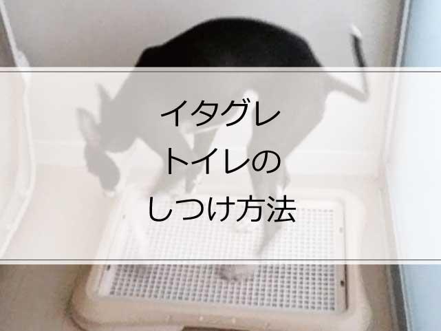コレで覚えた!イタグレのトイレのしつけ方法