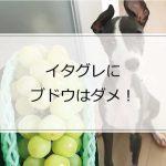 イタグレに秋の味覚「ぶどう」は毒!食べるとどうなる?