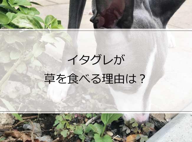 イタグレが散歩中に草を食べる理由と危険性