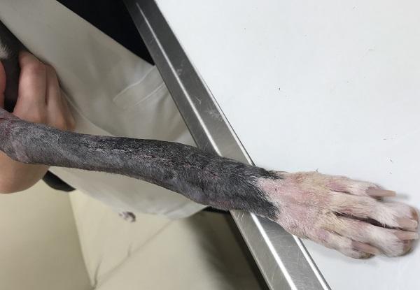 骨折の手術後のイタグレの傷口