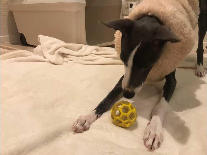 丈夫なボールのおもちゃで遊ぶイタグレ