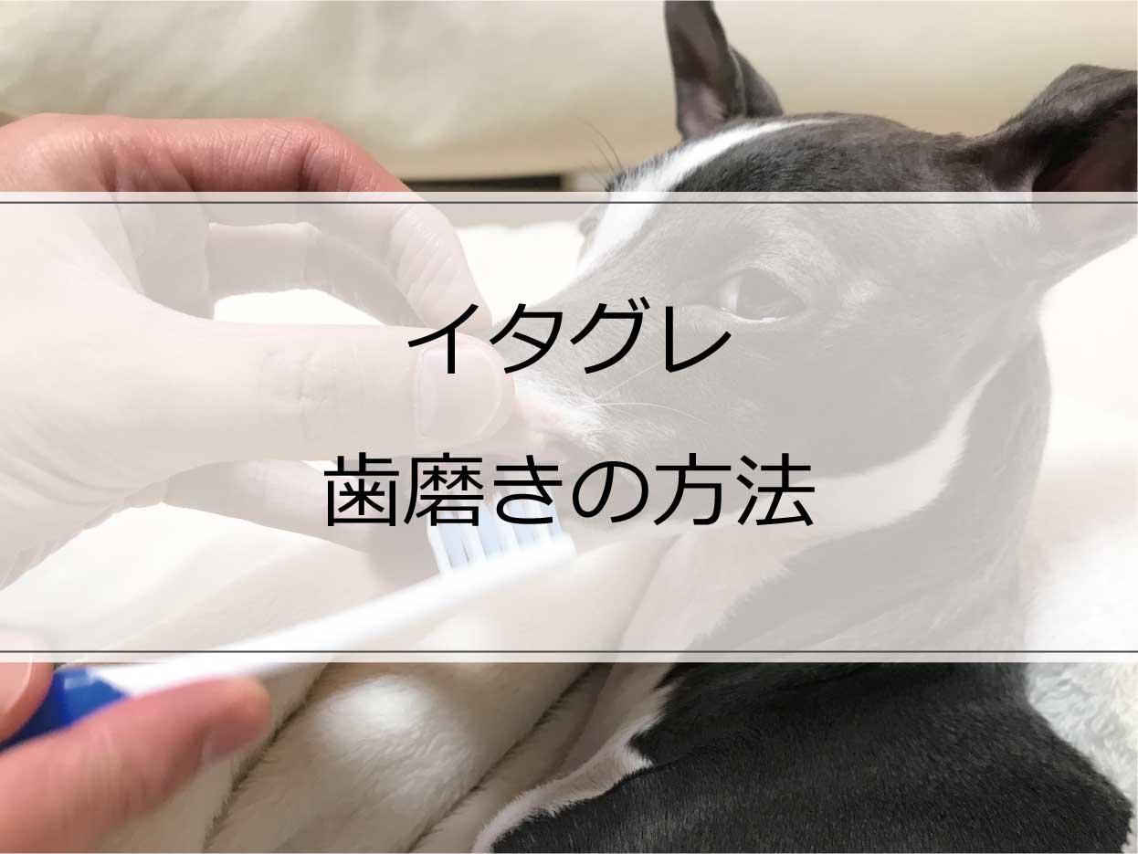 イタグレの歯磨きの方法【画像で詳しく解説】