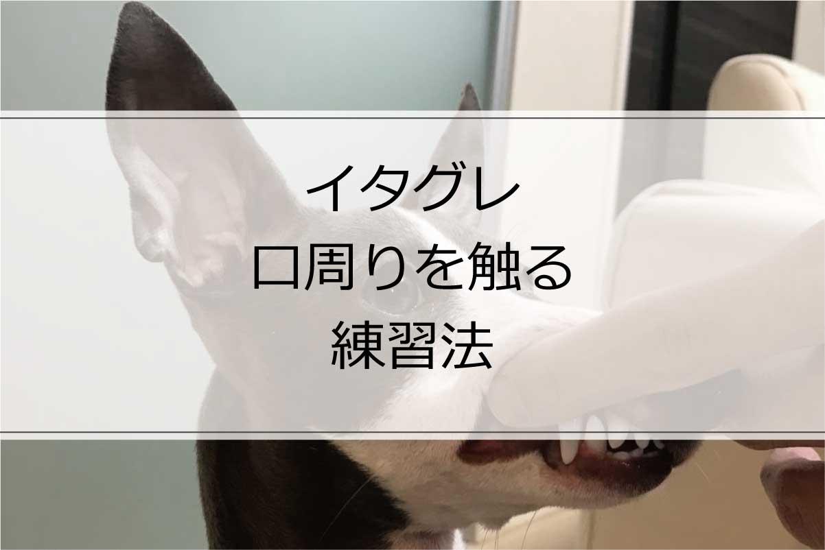 歯磨き前に慣らす!イタグレの口周りを触る練習法